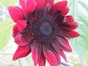 sunflower flower in  mix